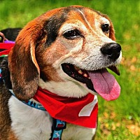 Beagle Mix Dog for adoption in Fairfax Station, Virginia - Toby Beagle