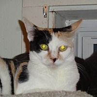 Calico Cat for adoption in Watsontown, Pennsylvania - Daffodil