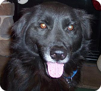 Border Collie/Labrador Retriever Mix Dog for adoption in Winfield, Pennsylvania - Bradigan