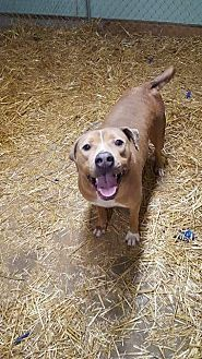 Labrador Retriever/American Staffordshire Terrier Mix Dog for adoption in Speedway, Indiana - HAPPY JACKS