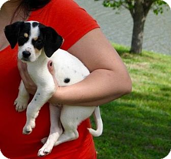 Beagle Mix Puppy for adoption in Nanuet, New York - Roxie