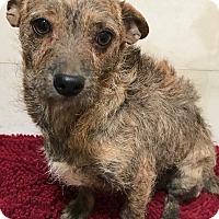 Adopt A Pet :: Chinina - Tucson, AZ