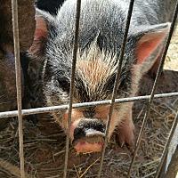 Adopt A Pet :: Porkaletta aka Pansy - Riverside, CA