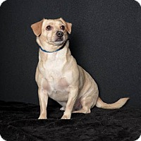 Adopt A Pet :: Boomer - Van Nuys, CA
