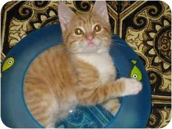 Domestic Shorthair Kitten for adoption in Little Falls, New Jersey - Obie