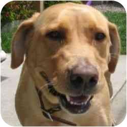 Labrador Retriever Mix Dog for adoption in Berkeley, California - Mallory