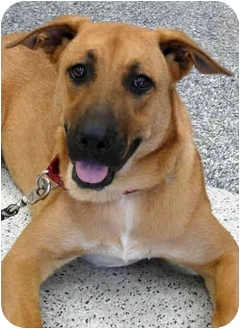 Mastiff/Belgian Malinois Mix Puppy for adoption in Sacramento, California - Ashley PENDING