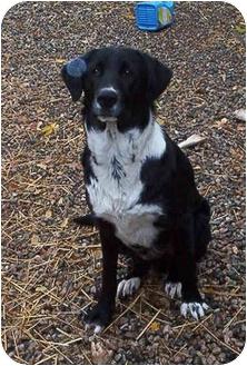 Border Collie/Irish Setter Mix Dog for adoption in Emmett, Idaho - ZEKE