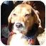 Photo 1 - Beagle Dog for adoption in Indianapolis, Indiana - Ike