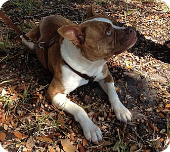 Staffordshire Bull Terrier Puppy for adoption in Coral Springs, Florida - Dakota