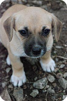 Beagle Mix Puppy for adoption in Greensboro, Georgia - 3 Shakespearean Fairies