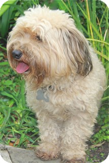 Cockapoo Mix Dog for adoption in Norwalk, Connecticut - Abby - adoption pending