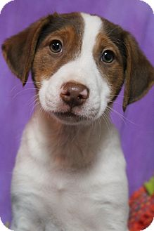 Beagle/Border Collie Mix Puppy for adoption in Hamburg, Pennsylvania - Magnolia