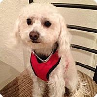 Adopt A Pet :: Johnny Angel - Rancho Mirage, CA