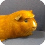 Guinea Pig for adoption in Wheaton, Illinois - Buttercup