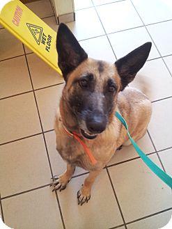 Belgian Malinois/German Shepherd Dog Mix Dog for adoption in San Antonio, Texas - DeeDee