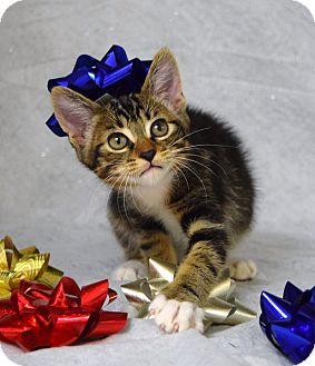 Domestic Shorthair Kitten for adoption in Dublin, California - Bright