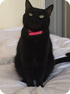Domestic Shorthair Cat for adoption in El Dorado Hills, California - Jasmine