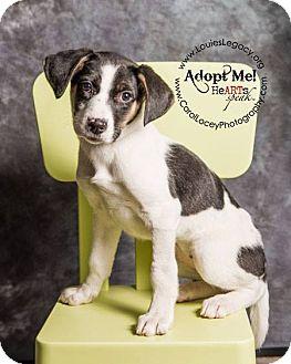 Siberian Husky/Treeing Walker Coonhound Mix Puppy for adoption in Cincinnati, Ohio - Jemma