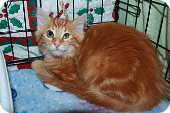 Domestic Shorthair Kitten for adoption in Rochester, Minnesota - T.J.