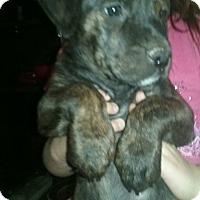 Adopt A Pet :: puppies - Ortonville, MI