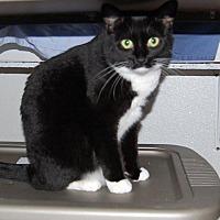 Domestic Shorthair Cat for adoption in Brainardsville, New York - Mallow