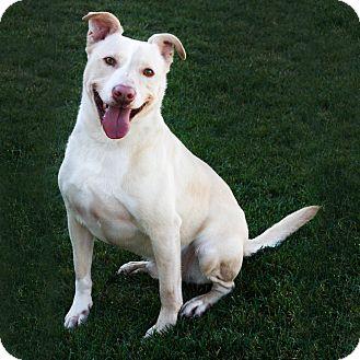 Labrador Retriever/Pit Bull Terrier Mix Dog for adoption in Stockton, California - Ranger