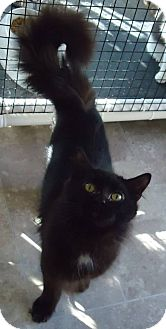 Domestic Longhair Cat for adoption in Speedway, Indiana - Darby