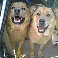 Golden Retriever/Shepherd (Unknown Type) Mix Dog for adoption in Van Nuys, California - TEDDY & CANDY