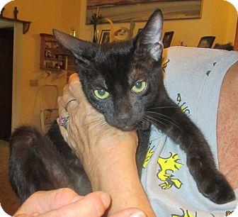Domestic Shorthair Kitten for adoption in Mims, Florida - Jessie Owens