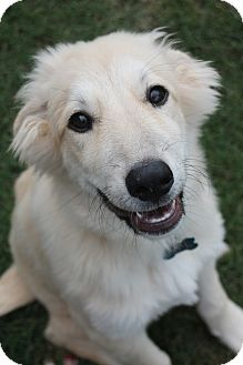 Great Pyrenees Puppy for adoption in Tulsa, Oklahoma - Fiona  *Adopted