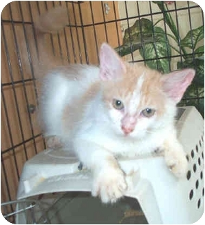 Domestic Longhair Kitten for adoption in Miami Beach, Florida - Camille