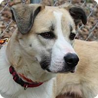 Adopt A Pet :: Luka - Harrisonburg, VA