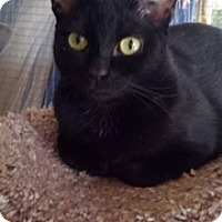 Adopt A Pet :: Princess Black Olive - Scottsdale, AZ
