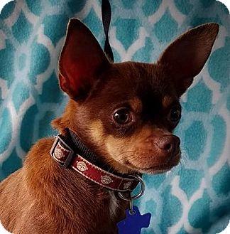Chihuahua Mix Dog for adoption in Allentown, Pennsylvania - Rafiki