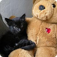 Adopt A Pet :: Bear - Anacortes, WA