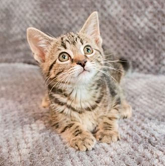 Domestic Shorthair Kitten for adoption in Chicago, Illinois - Gemma