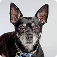 Adopt A Pet :: Morrison: adoption pending - Astoria, NY