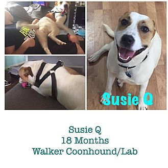 Labrador Retriever/Treeing Walker Coonhound Mix Dog for adoption in Harrisburg, Pennsylvania - Susie Q