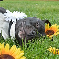 Adopt A Pet :: Lucy-Loo - Eastpointe, MI