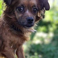 Adopt A Pet :: Pinto Bean - Saint Augustine, FL