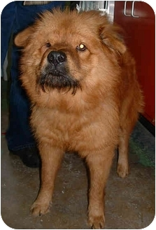 Chow Chow Mix Dog for adoption in Honesdale, Pennsylvania - Mufassa