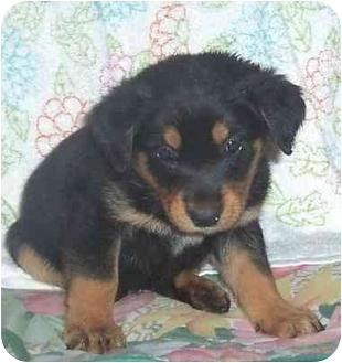 German Shepherd Dog/Rottweiler Mix Puppy for adoption in Arlington, Virginia - Cleo