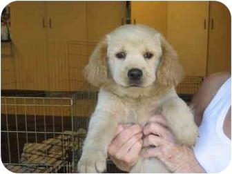 Golden Retriever/Border Collie Mix Puppy for adoption in Marietta, Georgia - Birch