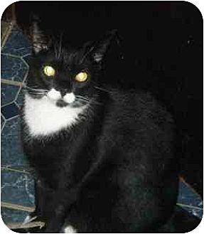 Domestic Shorthair Cat for adoption in N. Billerica, Massachusetts - Poptart