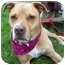 Photo 4 - American Pit Bull Terrier/American Pit Bull Terrier Mix Dog for adoption in Howes Cave, New York - Flower - On Hold