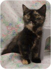 Domestic Shorthair Cat for adoption in Spruce Pine, North Carolina - Chrissy