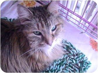 Domestic Mediumhair Cat for adoption in Columbiaville, Michigan - Tara