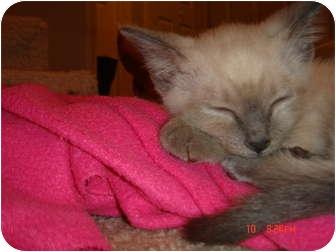 Siamese Kitten for adoption in Smithfield, North Carolina - Brodie