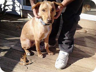 Labrador Retriever Mix Dog for adoption in Lebanon, Maine - Tripp-LOCAL